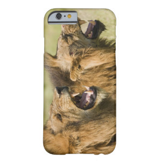 Male lions roaring, Greater Kruger National Barely There iPhone 6 Case