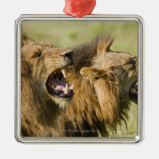 Male lions roaring, Greater Kruger National Silver-Colored Square Decoration