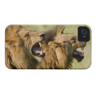 Male lions roaring, Greater Kruger National iPhone 4 Case