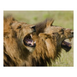 Male lions roaring, Greater Kruger National Posters