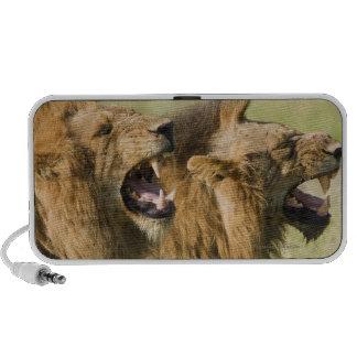 Male lions roaring, Greater Kruger National Laptop Speaker