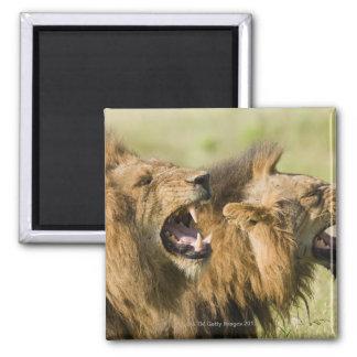 Male lions roaring, Greater Kruger National Square Magnet