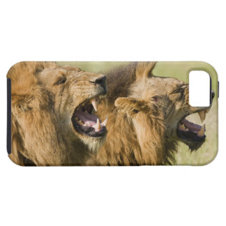 Male lions roaring, Greater Kruger National Tough iPhone 5 Case
