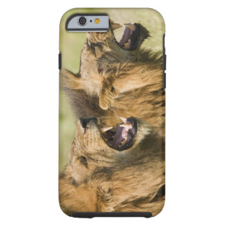 Male lions roaring, Greater Kruger National Tough iPhone 6 Case