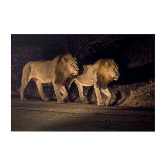 Male Lions Walking at Night Acrylic Print