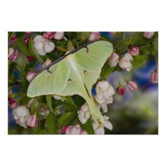 Male Luna Silk Moth of North American 2 Photo Print