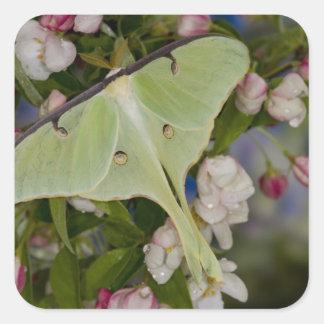 Male Luna Silk Moth of North American 2 Square Sticker