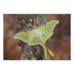 Male Luna Silk Moth of North American Photograph