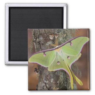 Male Luna Silk Moth of North American Square Magnet
