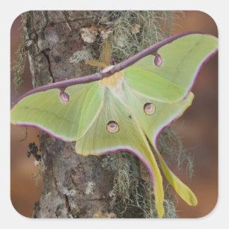 Male Luna Silk Moth of North American Square Sticker