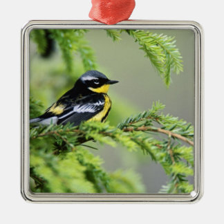 Male Magnolia Warbler, Dendroica magnolia Silver-Colored Square Decoration