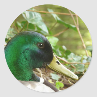 Male Mallard Duck Head Sticker