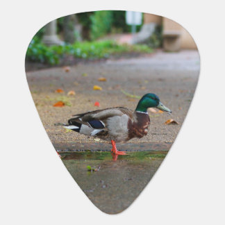 Male Mallard Duck on Rainy Day Plectrum