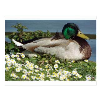 Male Mallard Duck Postcard
