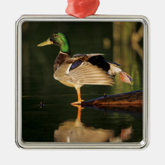 Male mallard stretching, Illinois Christmas Ornament