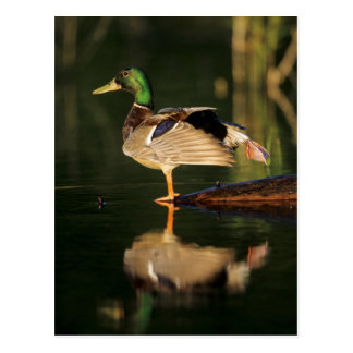 Male mallard stretching, Illinois Postcard
