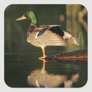 Male mallard stretching, Illinois Square Sticker