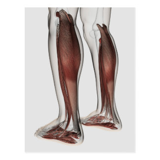 Male Muscle Anatomy Of The Human Legs, Anterior 5 Postcard