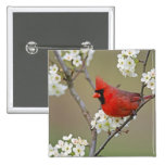 Male Northern Cardinal among pear tree 15 Cm Square Badge