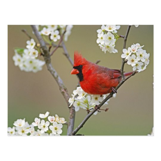Male Northern Cardinal among pear tree Postcard