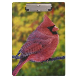 Male Northern Cardinal in autumn, Cardinalis Clipboard