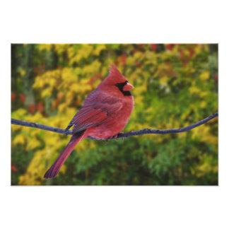 Male Northern Cardinal in autumn, Cardinalis Photo Print