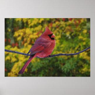 Male Northern Cardinal in autumn, Cardinalis Poster