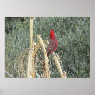 Male Northern Cardinal on Corn Tassel Print