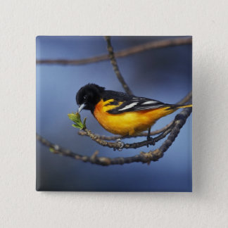 Male Northern Oriole, formerly Baltimore Oriole 15 Cm Square Badge