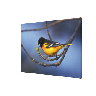 Male Northern Oriole, formerly Baltimore Oriole Canvas Print