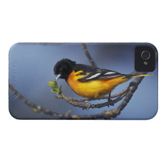 Male Northern Oriole, formerly Baltimore Oriole iPhone 4 Case-Mate Case