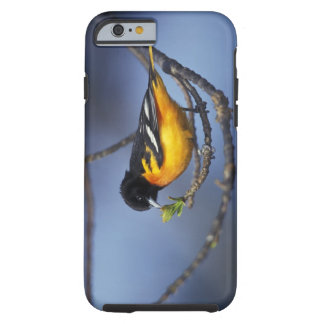 Male Northern Oriole, formerly Baltimore Oriole Tough iPhone 6 Case