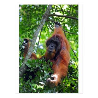 Male orangutan in nest Sumatra rainforest Postcard