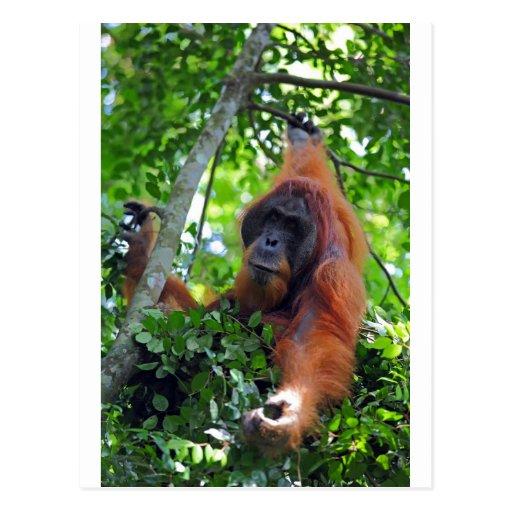 Male orangutan in nest Sumatra rainforest Post Cards