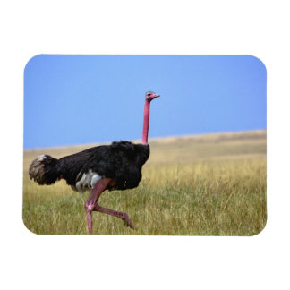 Male Ostrich in breeding plumage, Struthio Magnet