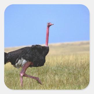 Male Ostrich in breeding plumage, Struthio Square Sticker