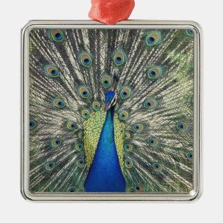 Male Peacock displaying (Pavo cristatus) Christmas Ornament