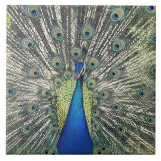 Male Peacock displaying (Pavo cristatus) Large Square Tile