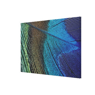Male peacock feather detail canvas print