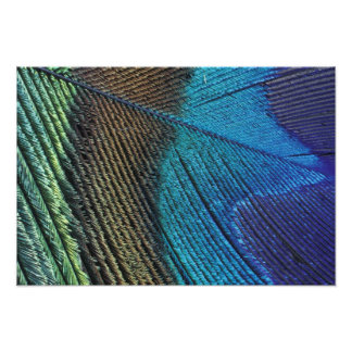 Male peacock feather detail photographic print