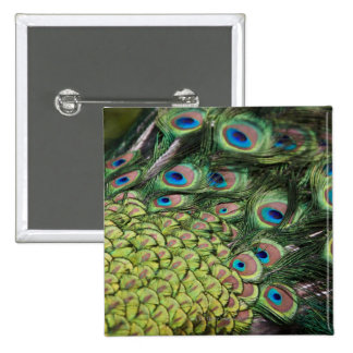 Male peacock (Pavo cristatus) displaying tail 15 Cm Square Badge