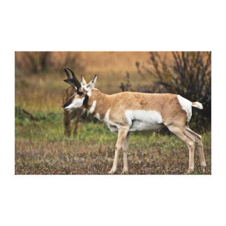 Male Pronghorn, Willow Flats, Grand Teton Canvas Print