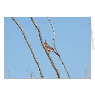 Male Pyrrhuloxia Greeting Cards
