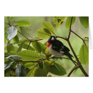Male Red Breasted Gross Beak Note Card