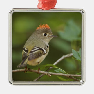 Male Ruby-crowned Kinglet, Regulus calendula Silver-Colored Square Decoration