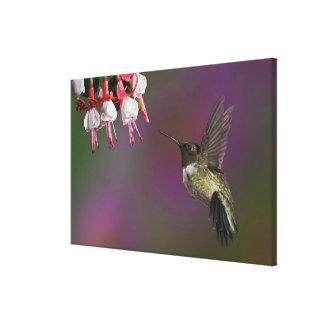 Male Ruby throated Hummingbird, Archilochus 2 Canvas Print