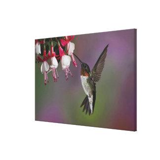 Male Ruby throated Hummingbird, Archilochus Canvas Print