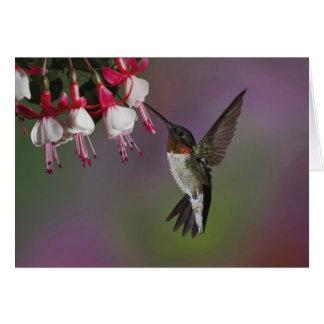 Male Ruby throated Hummingbird, Archilochus Card