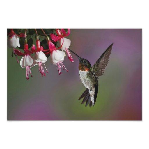Male Ruby throated Hummingbird, Archilochus Photo Print