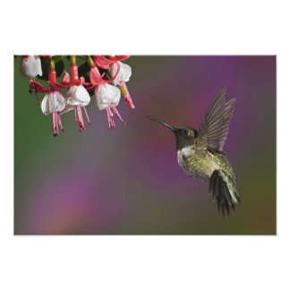 Male Ruby throated Hummingbird, Archilochus Photographic Print